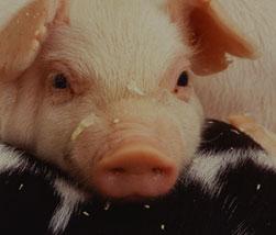 畜博会, 养猪, 猪业, 仔猪, 运动会, 规模猪场, 养猪企业, 养猪网