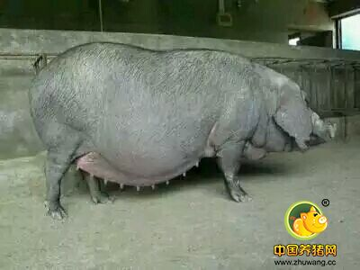 怎样正确在母猪怀孕后期增加仔猪初生重