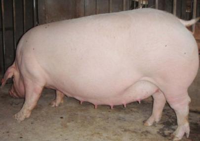 山东省猪价一枝独秀,行情继续反弹行上涨!