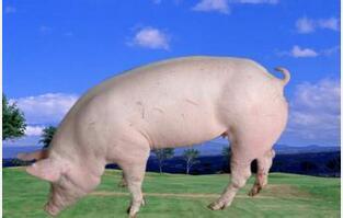 猪价由跌转涨 后期猪肉需求将季节性好转