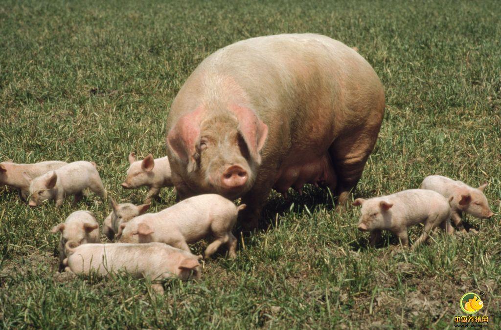 这个问题,90%猪场都有,解决了它,养好母猪很轻松!