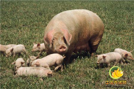 那些方法可以增加母猪年产仔窝数
