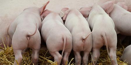 谁在高位?中南区猪源紧缺,猪价强势上涨!