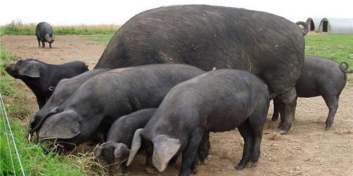 今日猪价——2019年3月23日最新生猪价格报价