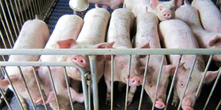 猪荞麦中毒的治疗处方
