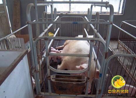院士设计星级猪栏,养猪成本可降低40-120元/头