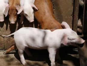 2018年06月17日全国内三元生猪价格行情涨跌表