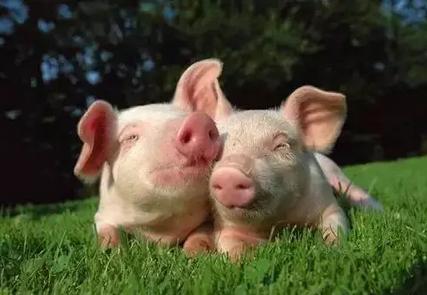 一周搞定慢性猪瘟和副猪嗜血杆菌病混感