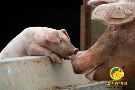 养猪场病弱猪很常见,如何鉴别与管理病弱猪?