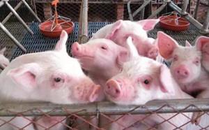 2018年06月16日(20至30公斤)仔猪价格行情走势