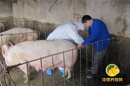 输精技术的操作技巧 母猪发情期至少输精两次