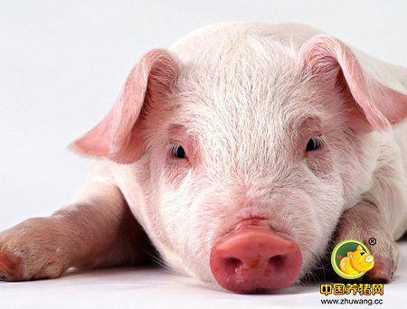 不花钱治猪病让你轻松养猪