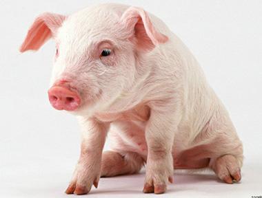 标准化自繁自养猪场的建设方案!