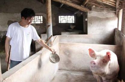 如何用槽渣喂猪?