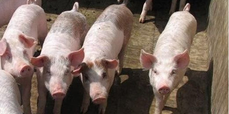 预测:至2017年猪价都将保持平稳发展