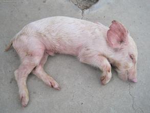 关于偏门方法治疗流行性腹泻,猪友们,你们怎么看?