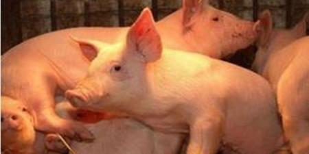 业内:预计8月之前猪价仍将维持稳中震荡