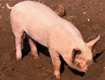 7-8月生猪将呈现紧张态势 猪价或将布局新一轮上涨