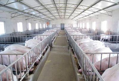 产房母猪跛足成大患,可能是地板设计出问题了?