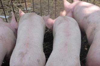 越南猪价深度下跌 主因竟然是中国!