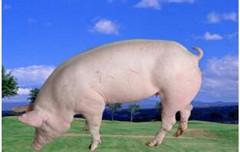 猪生病了不要忙着打针,这些情况喂药比注射效果好!