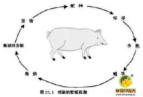 母猪的发情周期、性成熟及其诱导(一)
