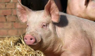 发改委:生猪产能逐步恢复 下半年猪肉供给有保障