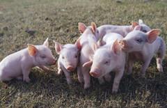 大蒜素喂猪的六大好处