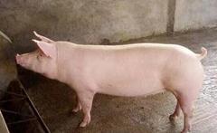 母猪不发情的处理办法