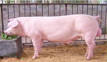 后备母猪为什么不发情?(4)
