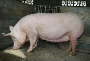 后备母猪为什么不发情?(3)