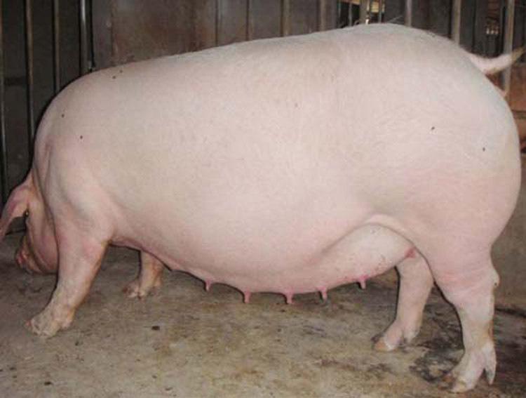 母猪怀孕后期到底如何攻胎?