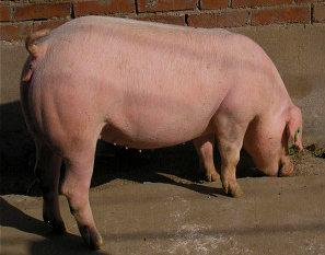 后备母猪为什么不发情?(6)