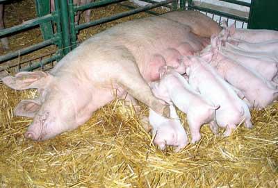 母猪产畸形胎儿,除了传染病还有可能是……