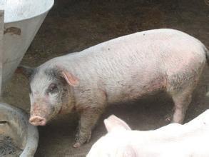 模化猪场猪肠道寄生虫病防治图片