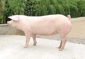 后备母猪为什么不发情?(8)