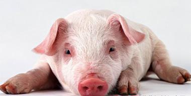 猪轮状病毒腹泻的病因、症状及防治_猪病门诊