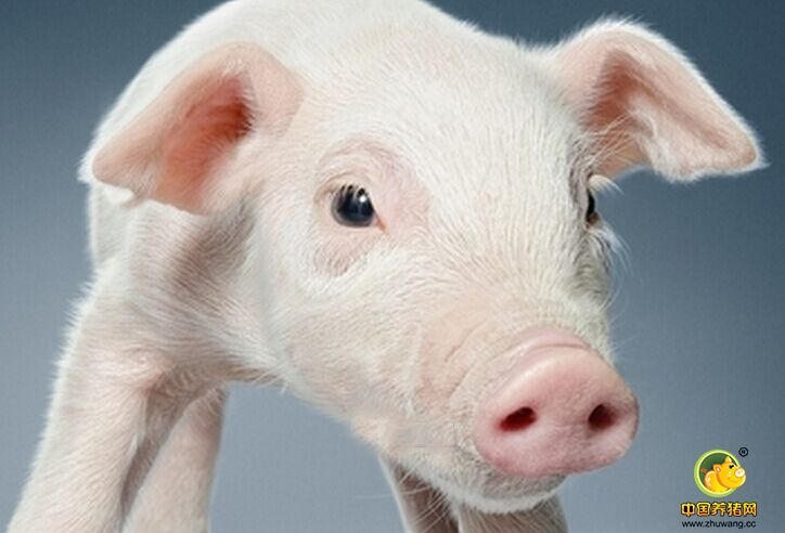 猪风湿病的治疗_猪病门诊