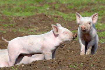 为什么夏季猪呼吸道疾病更严重?怎样治疗最合适?_猪病门诊