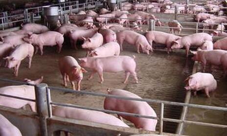 仔猪流行性下痢爆发该怎么做早期预防!_猪病门诊