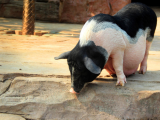母猪围产期疾病的防治猪繁殖病