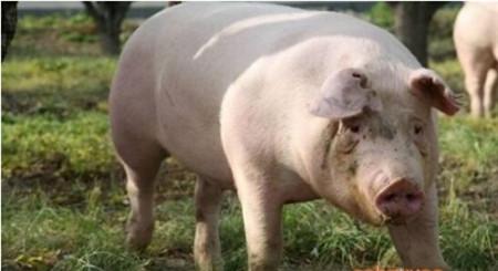 """赶走""""外来病"""",猪猪好健康!"""