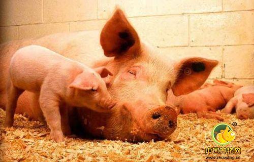为什么后备母猪所产仔猪死胎木乃伊比例大?