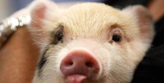 院校开学+中秋备货 猪价有希望上涨5毛至1块