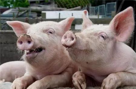 猪呼吸道症状-猪打喷嚏_猪病门诊