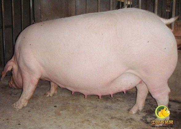 超详细猪场问题改进方案!想赚钱一定要看看!