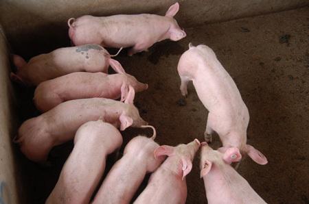 平稳过渡断奶期 帮助断奶仔猪适应新饲粮的三个细节