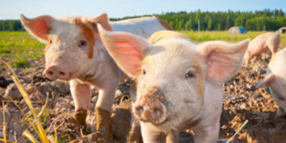 消费提振下后期猪价将反弹 但别过于期待大涨