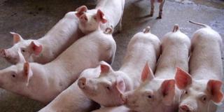 业内人士:猪肉价格企稳 超级猪周期还未结束