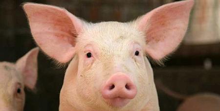 都说下个月猪价能涨,咱们到底是压栏不压?